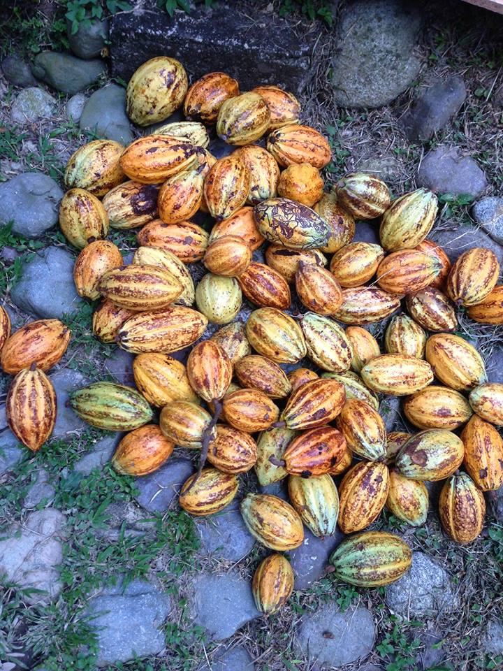 Cacao fruits and Honduras Chocolate