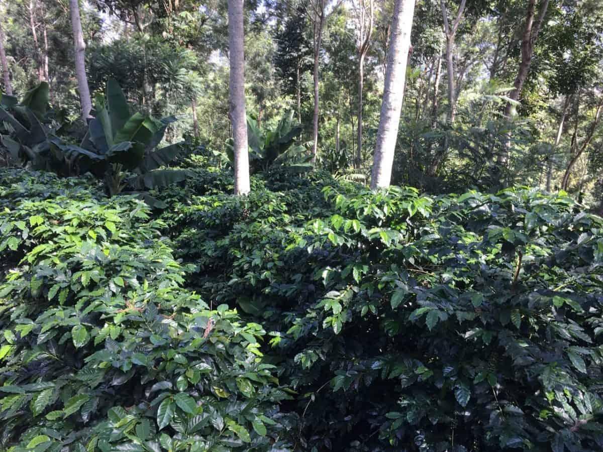 Coffee Harvesting Season in Honduras