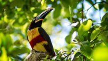 Collared aracari - La Ceiba, Honduras