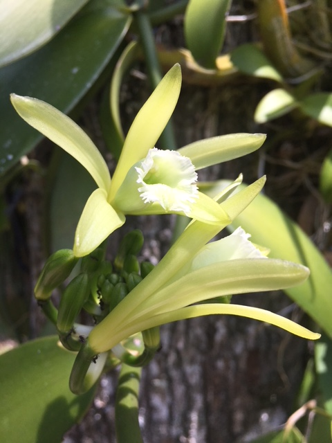 Vanilla is Native to Central America