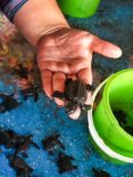 releasing baby turtles in Honduras