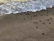 baby turtles begin their journey