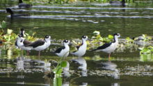 Bird festivals and events in Honduras