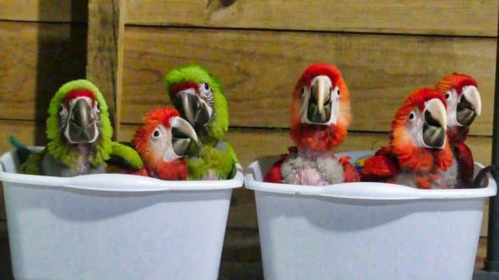 Honduras Celebrates Scarlet Macaw Day!
